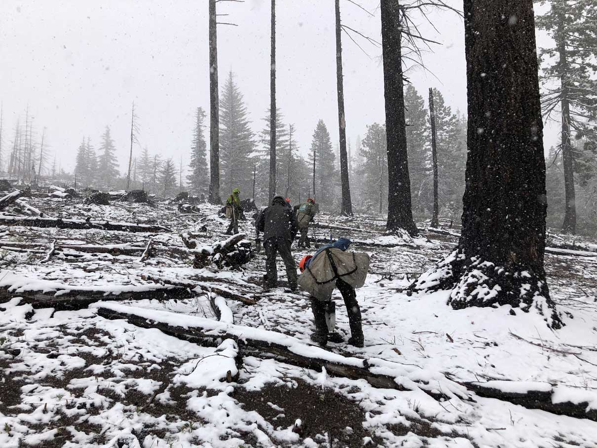 Your searches plant 13,000 trees to restore U.S. fire scars