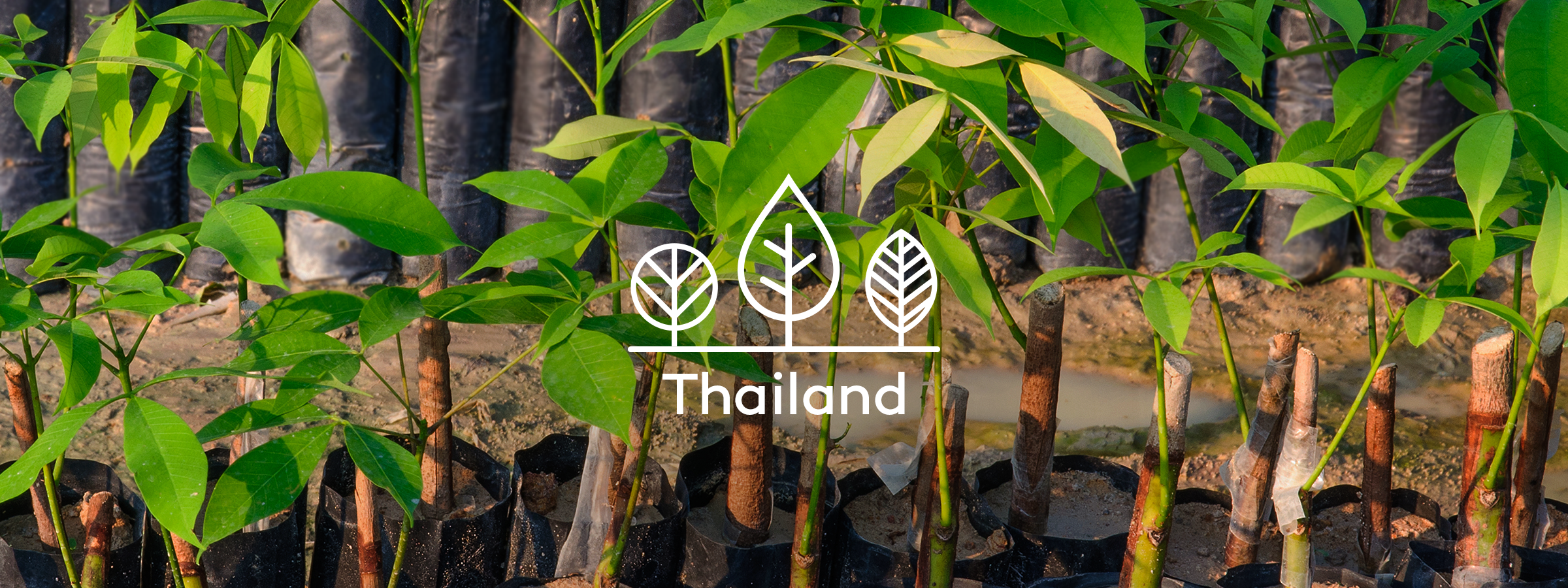 Your trees in Thailand
